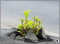 Plantes reppoussant l e macadam pour survivre