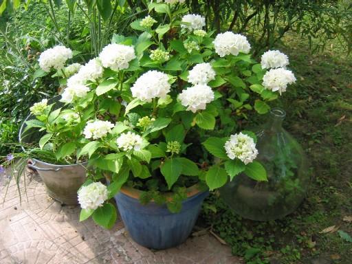 Hortensia blanc en pot