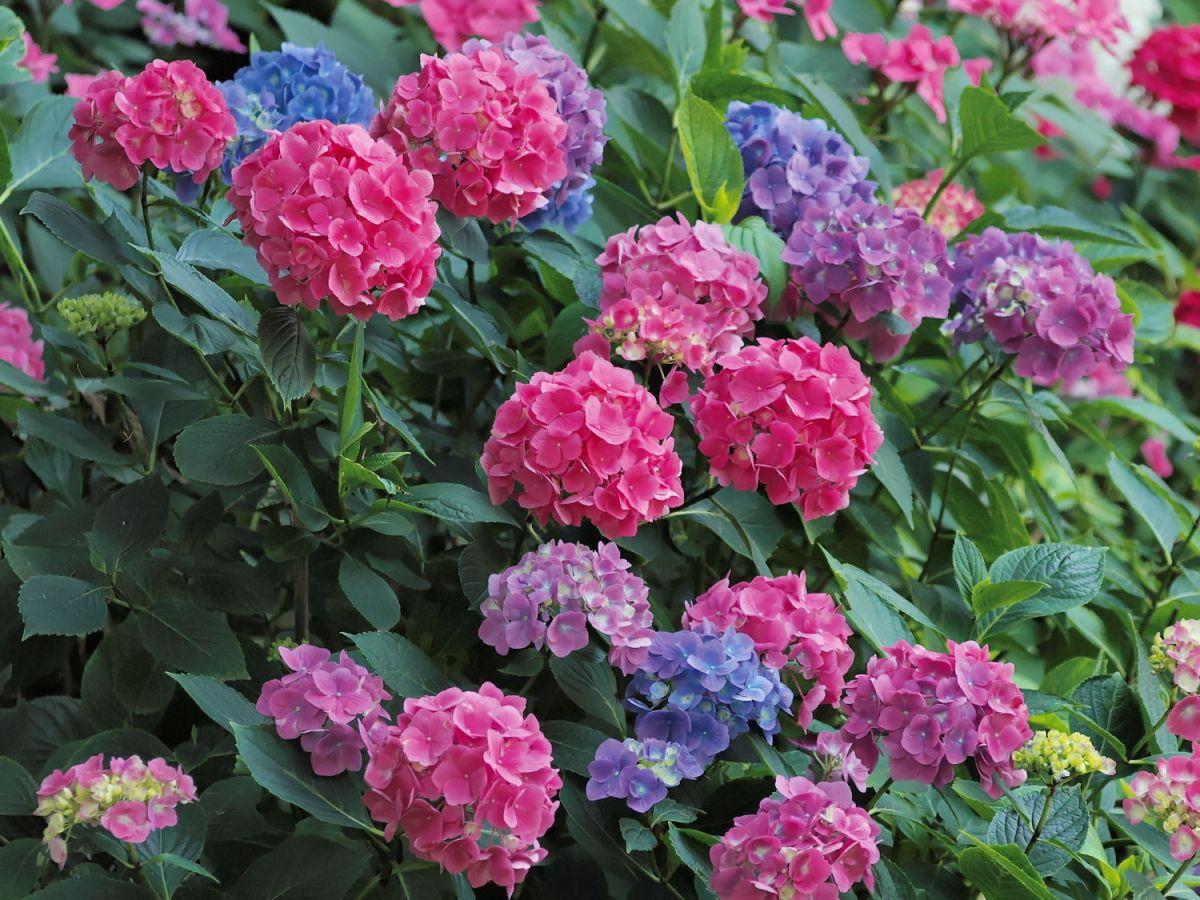 Hortensia ros vif