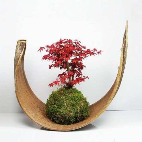 Kokedama , plante entourée de mousse sur un cosse de bois comme support