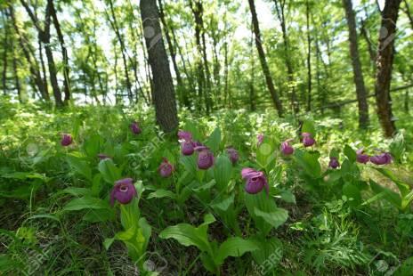 Regroupement de Sabot de vénus en sous bois