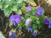 Plantation de violetes sur la tombe